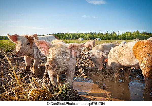 Many cute pigs on a pigfarm - csp6761784