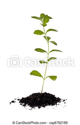 Stevia Plant (Stevia rebaudiana) - csp6762189