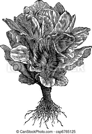 Romaine or Cos lettuce (Lactuca sativa) vintage engraving - csp6765125