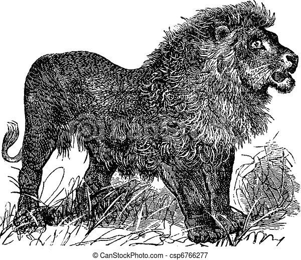 African Lion vintage engraving - csp6766277