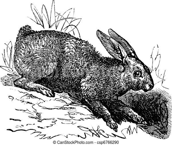 Northern hare (Lepus americanus) or Snowshoe Hare vintage engraving - csp6766290