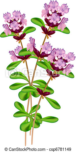 Flowering thyme. Vector illustration on white background. - csp6781149