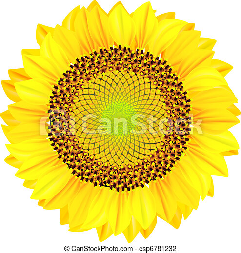 Sunflowers on a white background. Vector illustration. - csp6781232