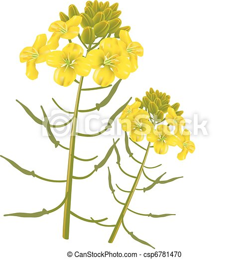 Vector Clipart of Mustard flower on a white background ...