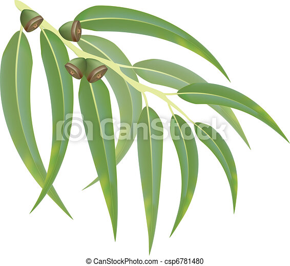 Eucalyptus branch. Vector illustration. - csp6781480