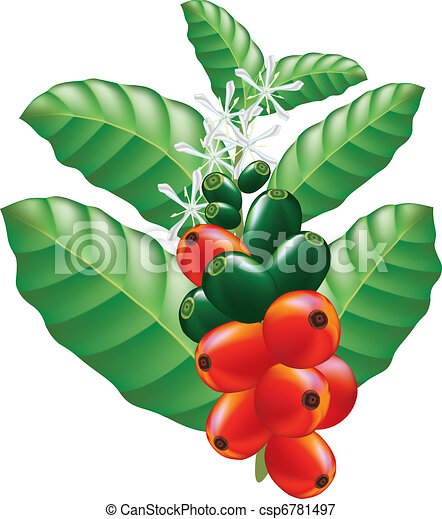 Fruits and flowers of coffee tree. Vector illustration. - csp6781497