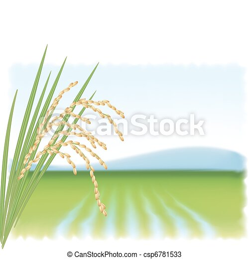 Rice field and a branch of ripe rice. Vector illustration. - csp6781533