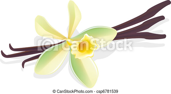 Flower vanilla. Dried pods. Vector illustration. - csp6781539