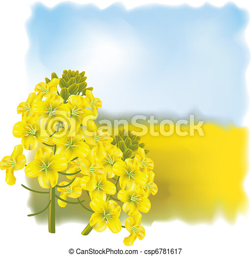 Rape flower on a background field. - csp6781617