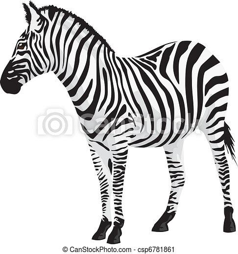 Zebra. Vector illustration. - csp6781861