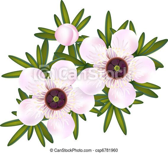 Manuka or Tea tree or just Leptospermum. Flowers and leaf. - csp6781960