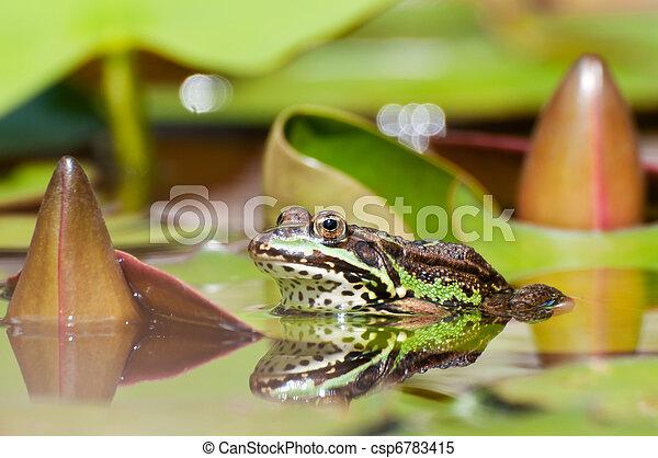 Edible Frog - csp6783415