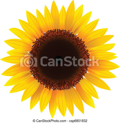 sunflower - csp6801832