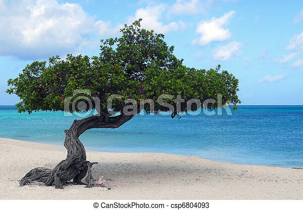 Divi Divi tree on Eagle Beach in Aruba - csp6804093