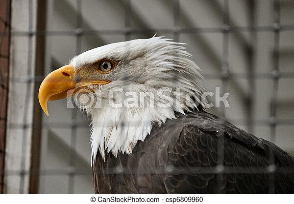 Bald Eagle in Rehabilitation Center - csp6809960