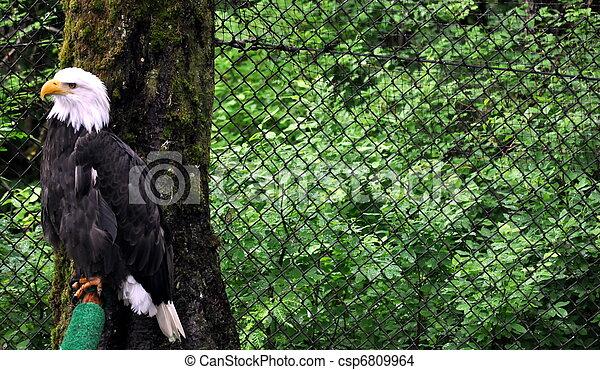 Bald Eagle in Rehabilitation Center - csp6809964