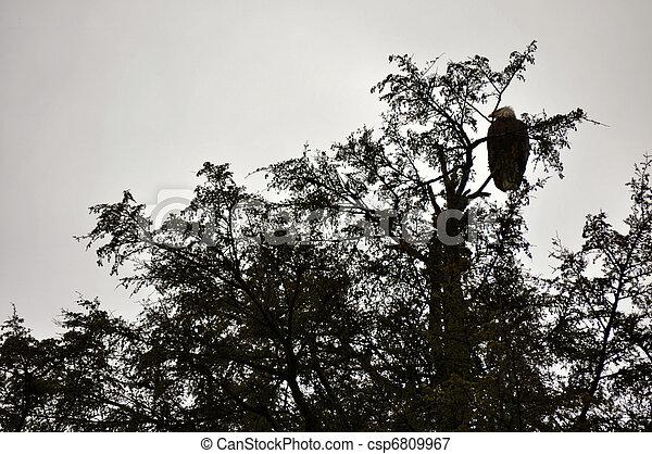 Bald Eagle in Rehabilitation Center - csp6809967