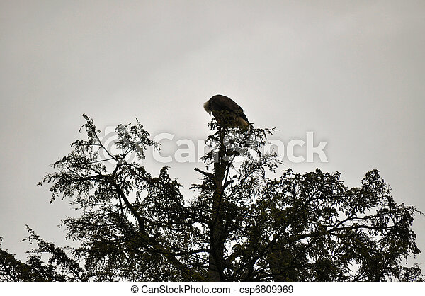 Bald Eagle in Rehabilitation Center - csp6809969
