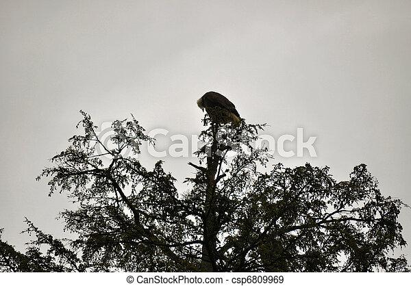 Bald Eagle in Rehabilitation Center - csp6809969