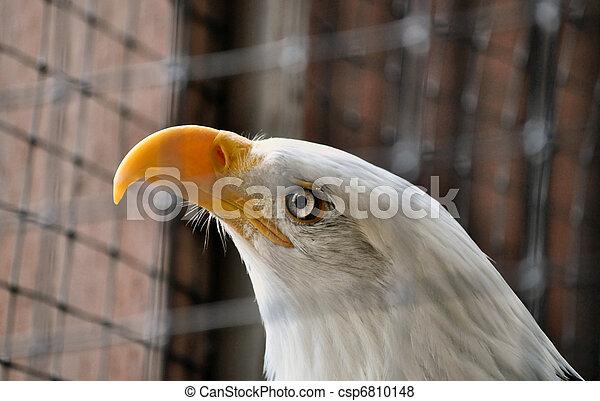 Bald Eagle in Rehabilitation Center - csp6810148