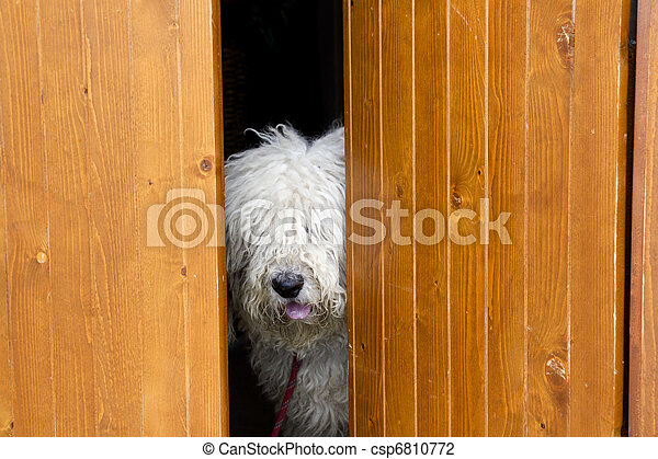 curious and shy dog hiding behind the wood door - csp6810772