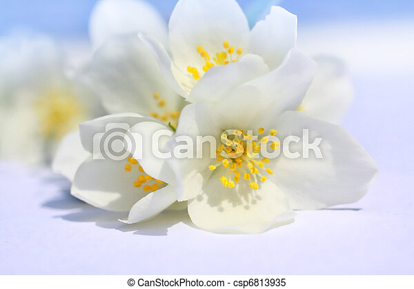 White garden flowers in blossom on white - csp6813935