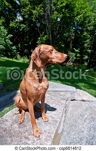 Stock Photo of Sitting Vizsla Dog (Hungarian Pointer) - A purebred ...