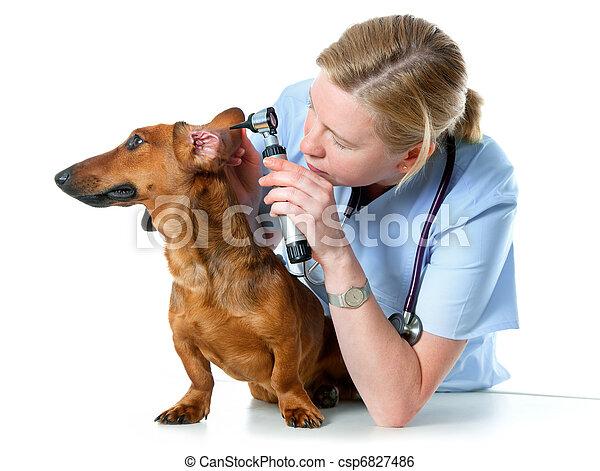 vet examining sick dog - csp6827486