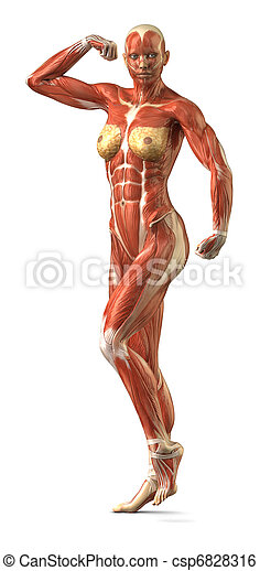 Female anterior muscular sytem anatomy in body-builder pose - csp6828316