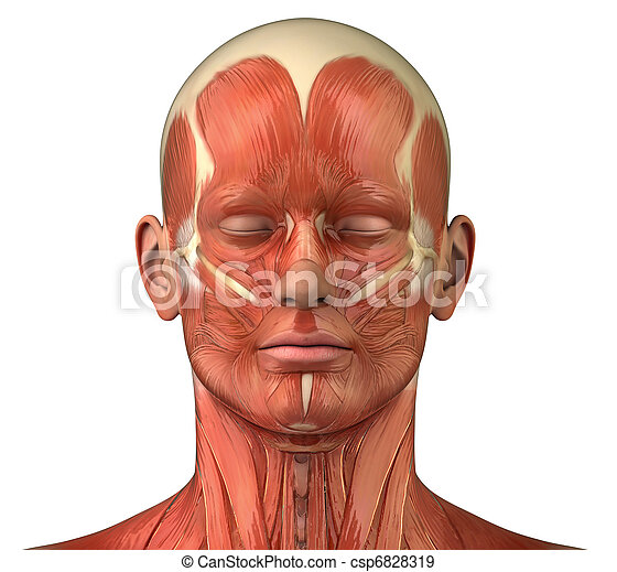 Facial muscular system anatomy front anterior view - csp6828319