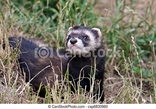 Polecat-coloured Ferret - csp6830960