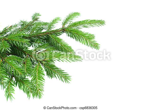 fresh green  fir tree branch - csp6836305