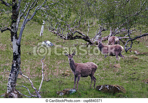 Red Deer (cervus elaphus) - csp6840371