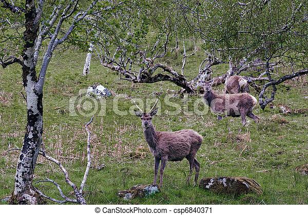Red Deer (cervus elaphus) - csp6840371