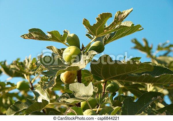 Fig tree - csp6844221