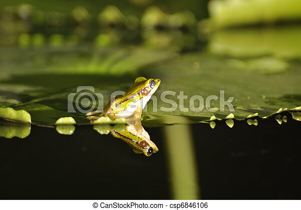 Green Paddy Frog back on waterlily - csp6846106