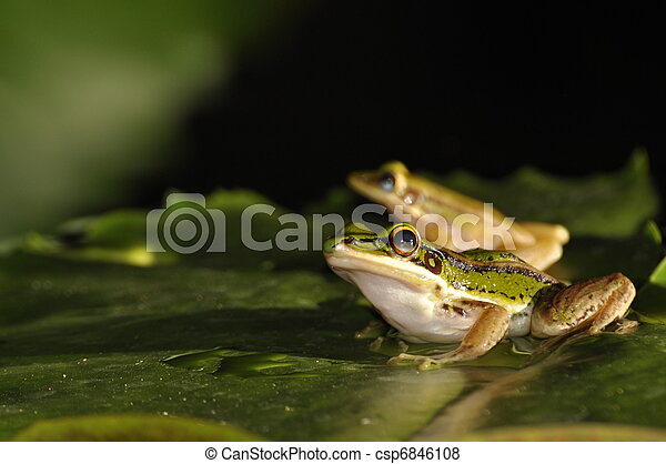 Green Paddy Frog pair on a waterlily leaf - csp6846108