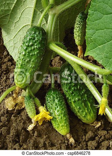 bilder von wachsen gurken gurke pflanze fragment mit einige csp6846278 suchen sie. Black Bedroom Furniture Sets. Home Design Ideas
