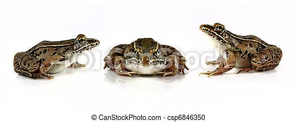 Leopard Frogs - csp6846350