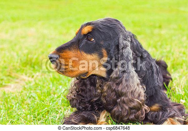 dog English Cocker Spaniel breed - csp6847648