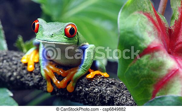 Red-Eyed Tree Frog - csp6849882