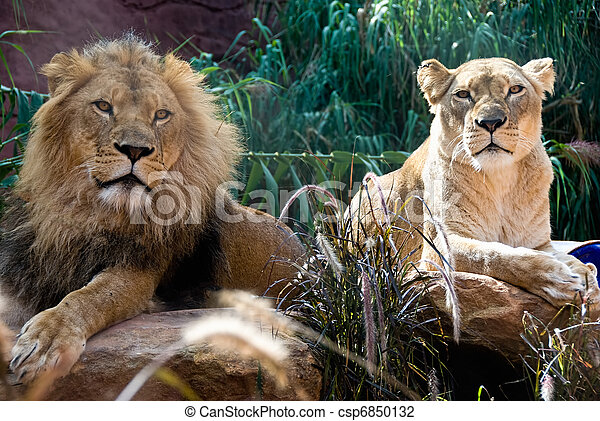 Lion and Lioness - csp6850132