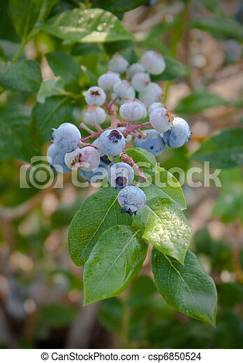 Blueberries on the Bush_0296 - csp6850524