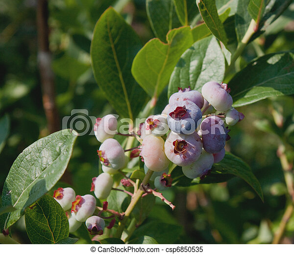 Under Ripe Blueberries-0354 - csp6850535