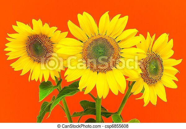 sunflowers on a red background - csp6855608
