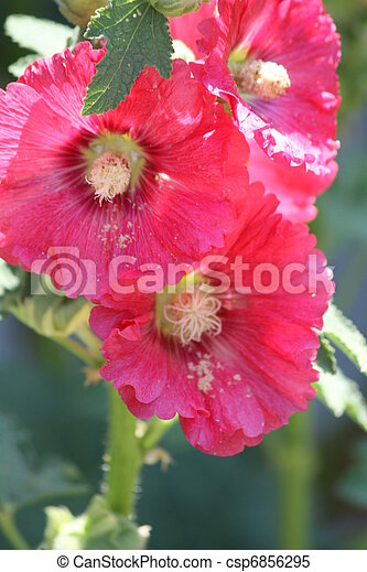 Hollyhocks, Red (Alcea) - csp6856295