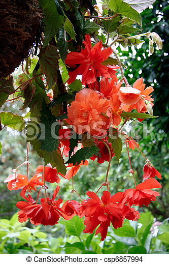 A mass of hanging orange Begonia flowers at Butchart Gardens - csp6857994