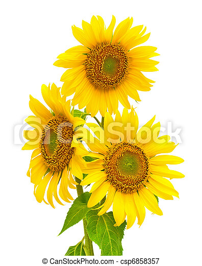 blooming sunflowers closeup isolated on white background - csp6858357