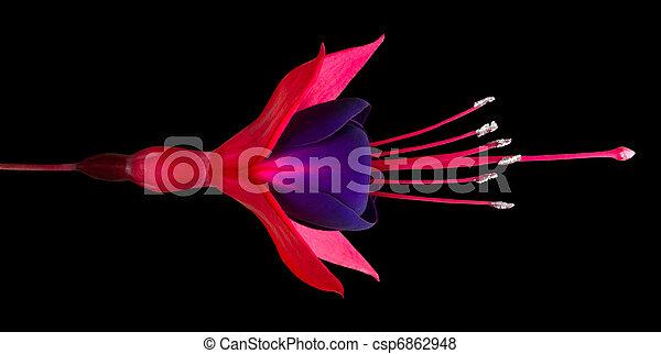 Single Fuchsia Flower Isolated on Black - csp6862948