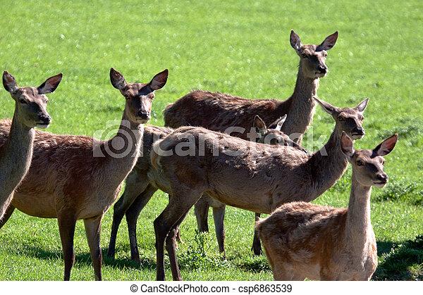 Herd of Red Deer (cervus elaphus) - csp6863539